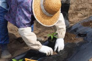 ③畑植え付け(6月上旬)