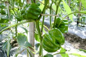 ④収穫(8月中旬~9月下旬)